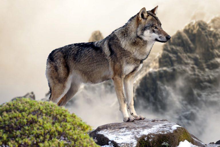 Wiedunka - Wilk – pan leśnej gęstwiny - 7.02.2020